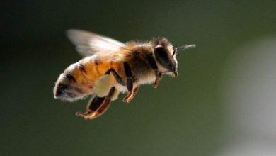 Photo of Veneno de abeja ayuda a destruir células de cáncer de mama