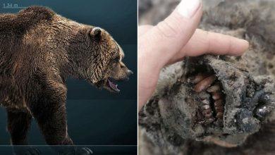 Photo of Encuentran restos conservados del Oso de las Cavernas…!De hace 15 mil años!