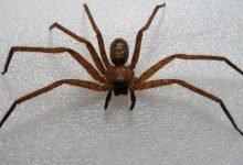 Photo of Captan araña gigante devorando pequeño reptil en Australia #Video