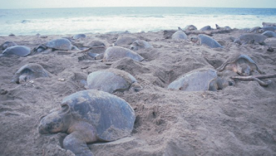 Photo of Miles de tortugas llegan a playas de Oaxaca para anidar