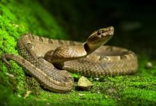 Photo of ¡Serpiente como cubrebocas! 'Remedio' contra coronavirus en Manchester