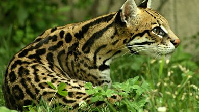 Photo of Plantean que felinos silvestres ni híbridos puedan ser usados como mascotas