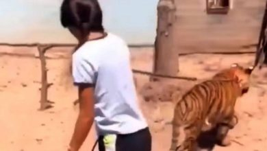 Photo of Niña pasea a su tigre de bengala por calles de Guasave, Sinaloa #Video