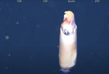 Photo of Video: Captan por primera vez a uno de los calamares más extraños