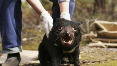 Photo of Demonio de Tasmania regresa por primera vez en 3 mil años a Australia