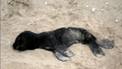 Photo of Encuentran cinco mil crías de focas muertas en una playa de Namibia