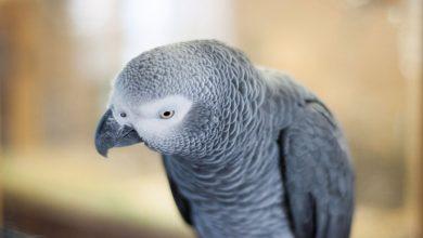 Photo of Zoológico de Reino Unido retira loros grises por decir groserías a visitantes