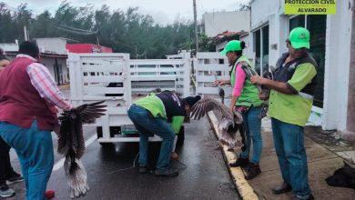 Photo of Rescatan a pelicanos derribados por fuertes vientos en Antón Lizardo