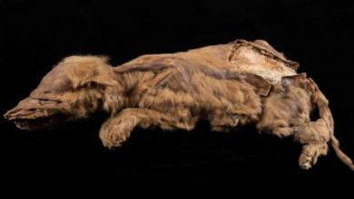 Photo of Encuentran un cachorrito de lobo de más de 57,000 años