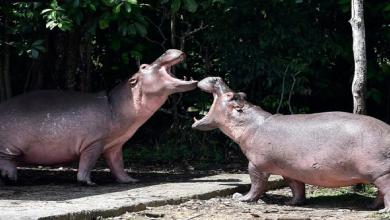 Photo of Colombia busca sacrificar a los hipopótamos de Pablo Escobar