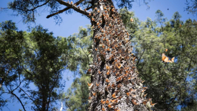 Photo of Urgen a combatir la tala ilegal en la reserva de la biósfera de la Mariposa Monarca