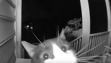 Photo of Gatito aprende a tocar el timbre para entrar a su casa #Video