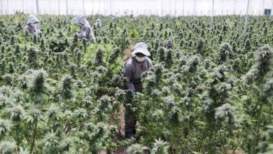 Photo of Veracruz podría ser el principal productor de Cannabis en el mundo